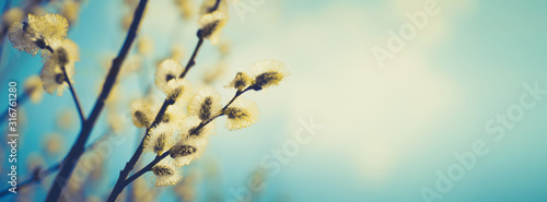 Blooming fluffy willow branches in spring close-up on nature macro with soft focus on turquoise blue background sky Canvas Print