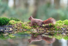 Red Squirrel Walking On Mossy ...