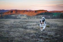 Dog Australian Shepherd Runnin...