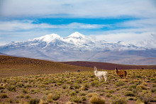 Lama In The Bolivian Mountains