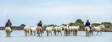 White Camargue Horses . Riders...