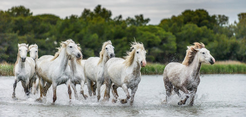 White Camargue Horses galloping through water. Parc Regional de Camargue - Provence, France