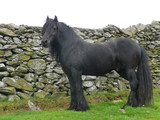 Fell Pony is a rare English treasure, from the mountains of Crumbia. It is one of the most adaptable horses of Mountain and moorland pony breed.