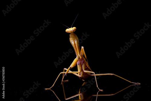 Fototapeta  Giant Asian Yellow Praying Mantis (Hierodula membranacea) isolated on black background