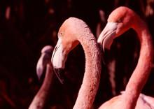 Flamingo, Pink, Bird, Beak, An...
