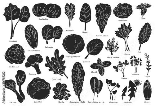 Fototapeta Vegetable lettuce black vector icon.Illustration of isolated black icon vegetable salad . Vector illustration set lettuce leaf and cabbage. obraz
