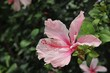 canvas print picture - Rosa Hibiskus Bluete auf den Seychellen