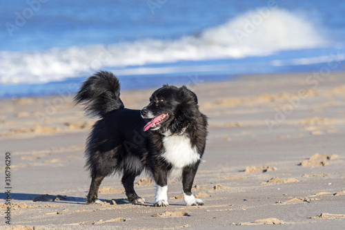 Cuadros en Lienzo Unleashed black and white border collie crossbreed on sandy beach along the coas