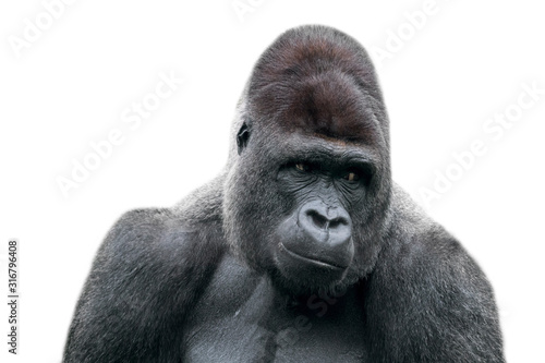 Photo Western lowland gorilla (Gorilla gorilla gorilla) close-up of male silverback ag