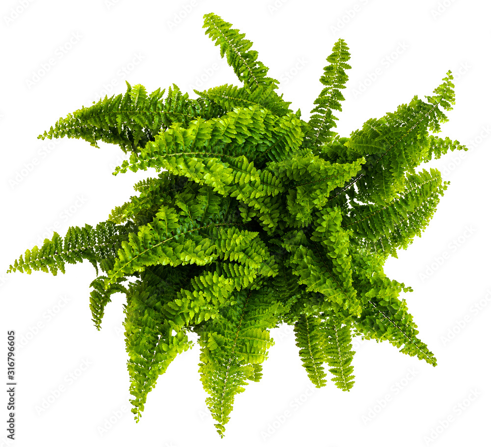 Fototapeta directly above shot of nephrolepis fern isolated on white background