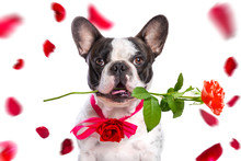 French Bulldog With Red Rose In The Muzzle For Valentines Day.