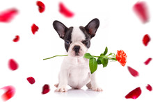 French Bulldog Poppy With Red ...