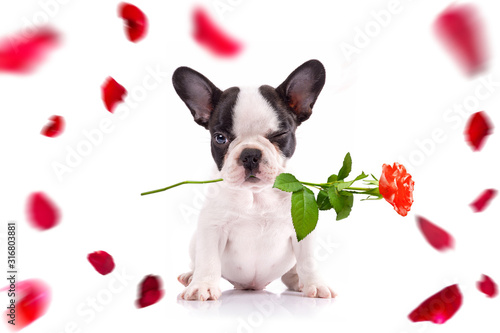Tela French bulldog poppy with red rose in the muzzle for valentines day