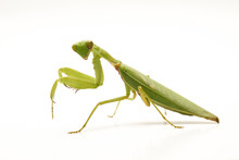 Giant Asian Green Praying Mantis (Hierodula Membranacea) Isolated On White Background.