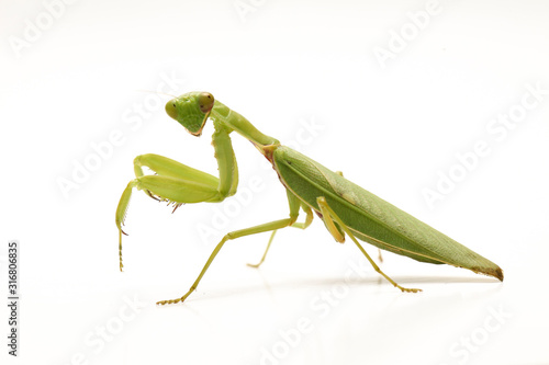 Giant Asian Green Praying Mantis (Hierodula membranacea) isolated on white background Fototapeta
