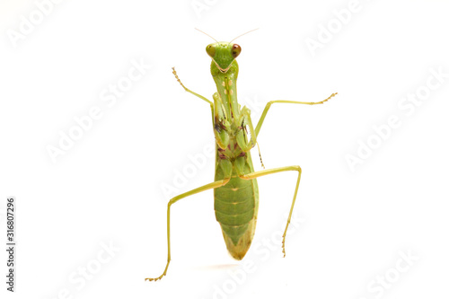 Photo Giant Asian Green Praying Mantis (Hierodula membranacea) isolated on white background