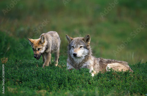 LOUP D'EUROPE canis lupus Fototapet