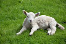 White Baby Lamb Resting In A Grass Field In The Spring