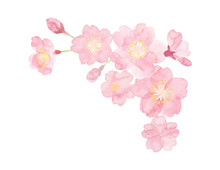 Watercolor Flame Illustration Of Cherry Blossoms Painted By Hand