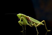 Giant Asian Green Praying Mantis (Hierodula Membranacea) Isolated On Black Background.