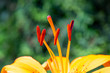 canvas print picture - Nahaufnahme freigestellter roter Blütenstempel einer gelben Lilie