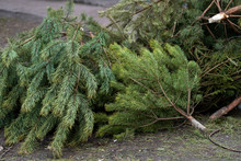Closeup View Of Many Discarded Old Christmas Trees Thrown Away After Winter Holidays Celebrations. Horizontal Color Photography.