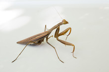 Brown Mantis Isolated On White...