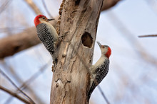 Pair Of Red Bellied Woodpeckers On A Tree