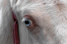 Close Up Of A Blue Eye Of Akha...