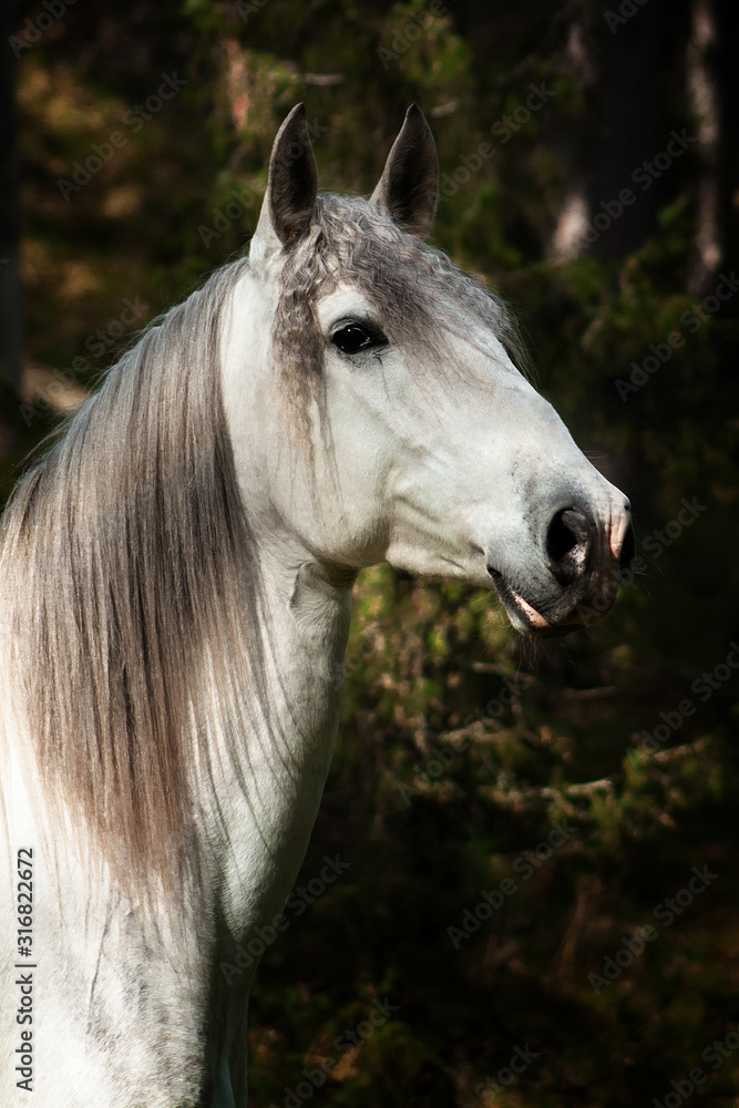 Fototapeta White andalusian breed horse stands in the pine tree forest. Animal potrait.