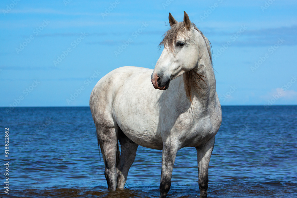 Fototapeta White andalusian breed horse stands in the sea in water in sunny summer day. Animal portrait.