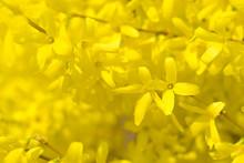 Forsythia Flowers. Spring Blur...