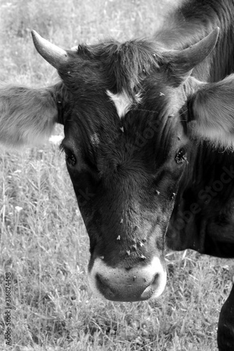 Fototapety, obrazy: Cow in Pasture