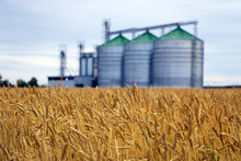 Yellow Field Of Wheat Or Barley, In The Background Out Of Focus Group Of Grain Dryers Complex.