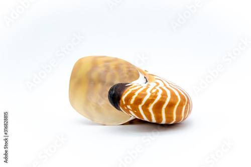 Fototapeta  tiger shell nautilus pompilius natural seashell isolated on white background - u