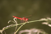 Red Dragonfly Resting In The Sun