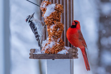 Northern Cardinal And Woodpeck...