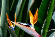 Strelitzia Or Bird Of Paradise...