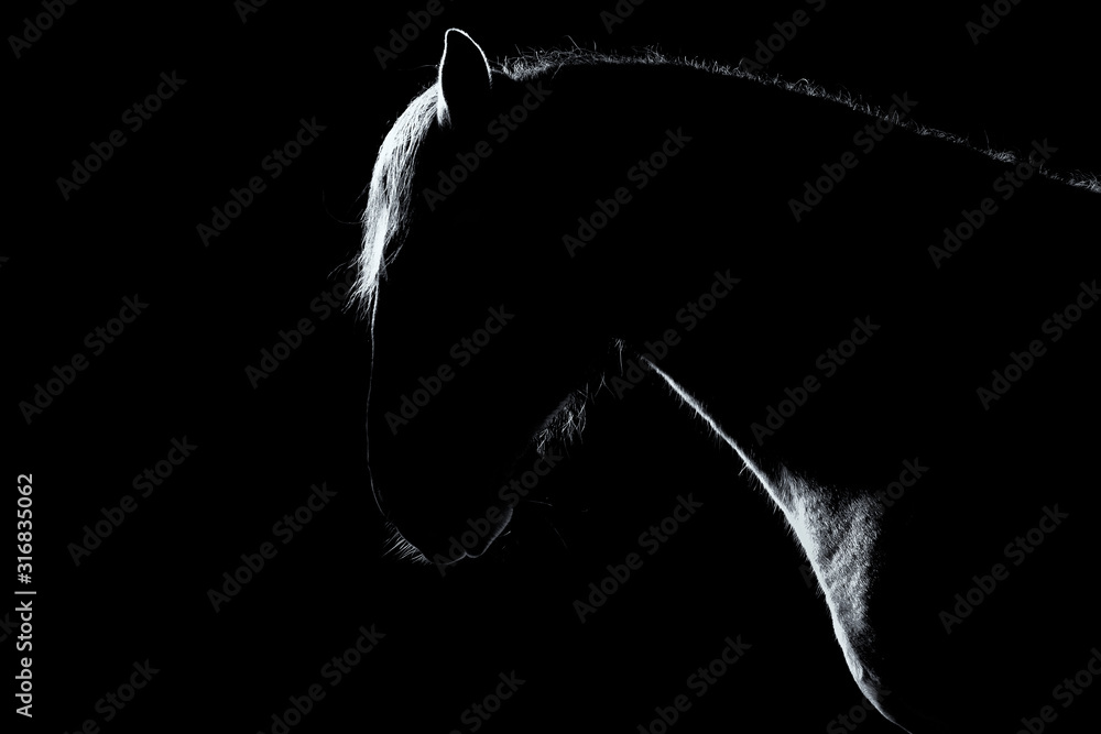 Fototapeta Natural silhouette of andalusian breed horse isolated on black background with copy space. Animal studio portrait.