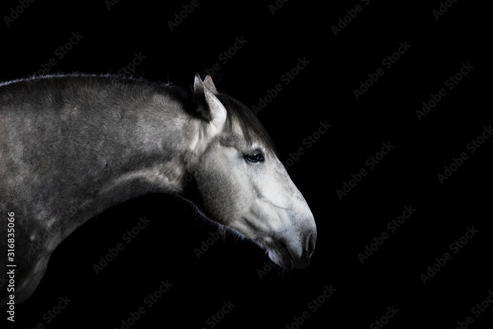Fototapeta Grey andalusian breed horse with ears backwards isolated on black background. Animal studio portrait close.