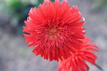 Dahlia Cactus Flower. Hybrid D...
