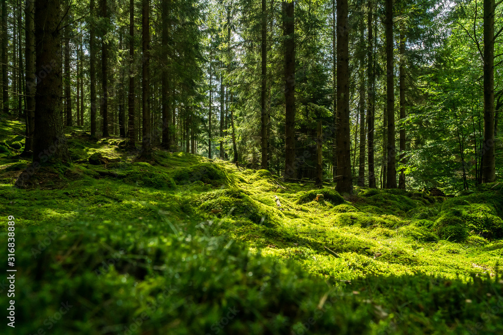 Fototapeta Beautiful green mossy forest in sweden