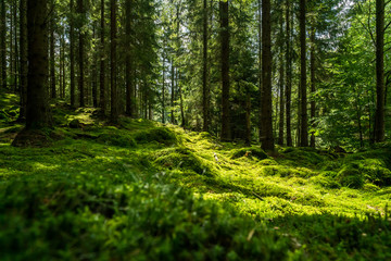 Beautiful green mossy forest in sweden