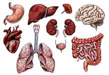 Set Of Human Organs, Hand Drawn Sketch