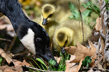 Newborn Goslings Learning Unde...