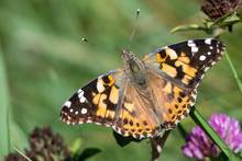 Painted Lady Butterfly Sipping Nectar From The Accommodating Flower