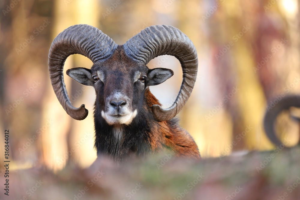 Fototapeta Horizontal portrait of mouflon, ovis orientalis, ram with curved horns looking into camera in sunlit spring forest. Male mammal fit long brown fur staring attentively in Slovak nature.