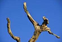 Human Form Dead Tree, U.K. A T...