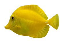 Tropical Coral Fish Yellow Tang (Zebrasoma Flavescens) Isolated On White Background