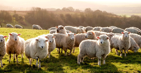 eight sheep in a row in a field looking at the camera with a flock of sheep behind, the sun is shining
